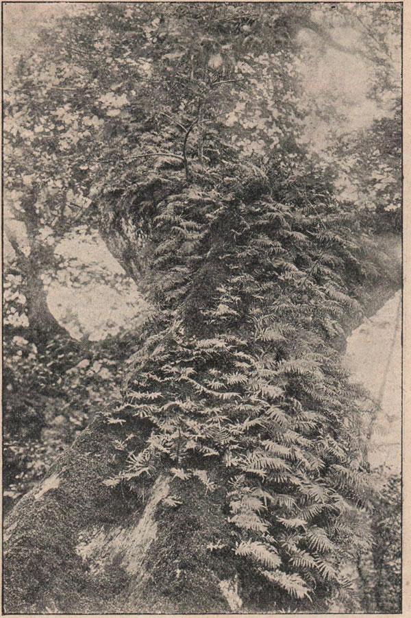 Рис. 161. Уголокъ вѣчио-зеленыхъ лѣсовъ въ окрестностяхъ Сочи; эпифиты — растенія, живущія на стволахъ деревьевъ лѣса, представляютъ непроходимую чащу.